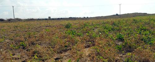 Israel sprays Gazan farmland close to border fence, destroying crops and causing heavy losses
